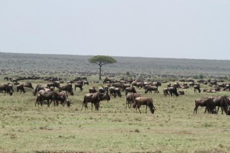 the-wildebeest-migration-in-the-musiara-marsh-and-bila-shaka-area