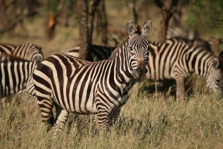 the-zebra-have-arrived-in-the-seronera-valley