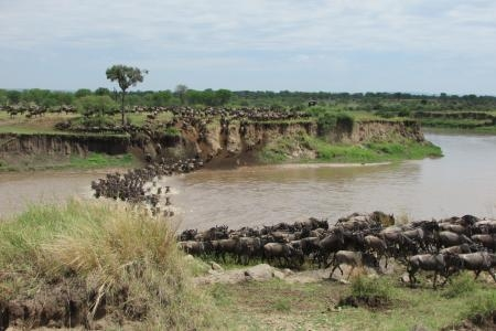 wildebeest-crossing-the-mara-river-at-crossing-point-three