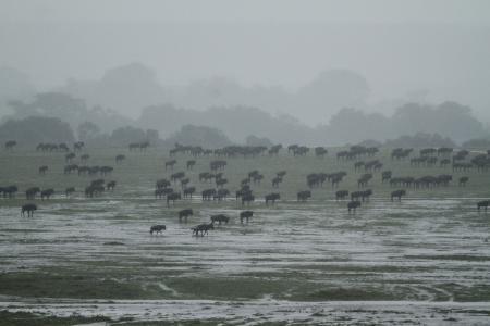 heavy-rain-falls-as-the-wildebeest-migration-starts-heading-south