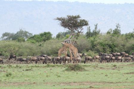 the-wildebeest-migration-congregating-at-rhino-ridge
