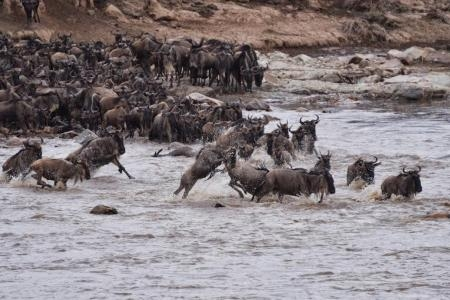 the-migratory-herds-crossing-the-mara-river-at-crossing-point-seven