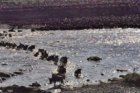 wildebeest-migration-crossing-the-mara-river-at-crossing-point-seven