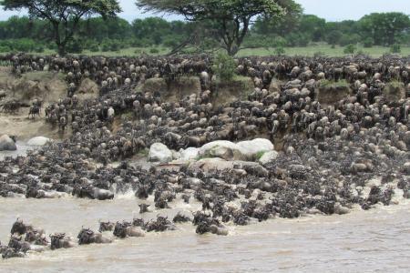 huge-wildebeest-herds-crossing-the-mara-river