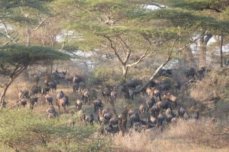 wildebeest-migration-arrives-in-ndutu