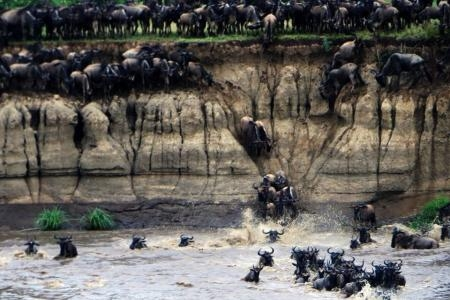 huge-wildebeest-herds-at-crossing-point-eight-three-and-seven