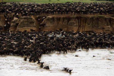 wildebeest-entering-the-mara-river-at-crossing-point-three
