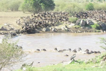 small-wildebeest-migration-crossing-at-lemala