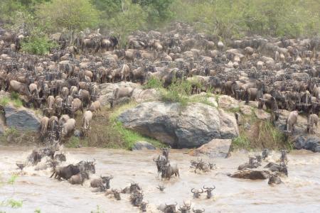 serengeti-migration-crossing-the-mara-river