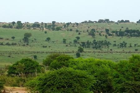 wildebeest-migration-heading-towards-the-kichwa-tembo-area
