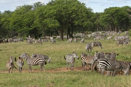 zebra-close-to-serengeti-pioneer-camp