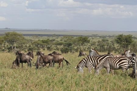 zebra-and-wildebeest-grazing