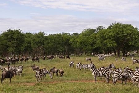 migratory-animals-at-the-serengeti-pioneer-camp