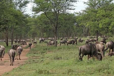 wildebeest-along-the-pioneer-camp-road