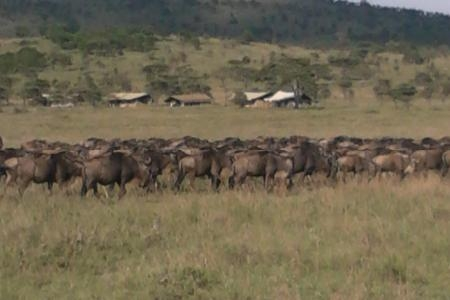 wildebeest-herds-around-the-lemala-ewanjan-camp