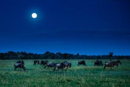 wildebeest-underneath-the-full-moon-at-the-four-seasons-safari-lodge