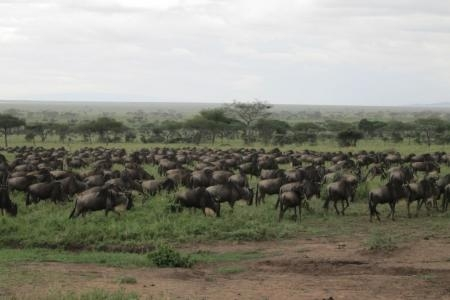 the-wildebeest-herds-in-front-of-the-dunia-camp