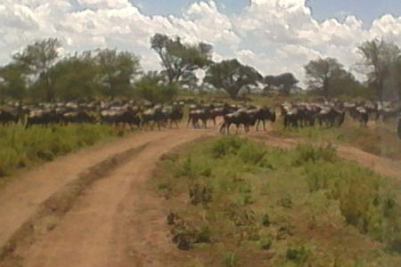 the-migrating-wildebeest-at-dunia-camp