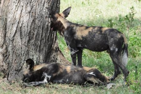 pack-of-wild-dogs-at-lemala-ewanjan