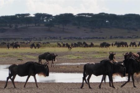the-migratory-herds-in-ndutu