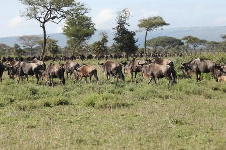 migration-close-to-the-serengeti-pioneer-camp