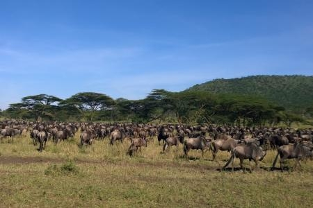 hundreds-of-wildebeest-gathering-near-the-dunia-camp
