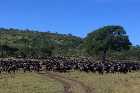 wildebeest-migration-close-to-dunia-camp