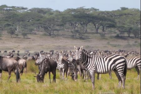 wildebeest-and-zebra-close-to-the-ndutu-safari-lodge