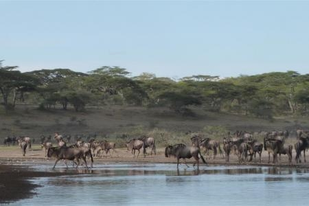 wildebeest-lingering-around-a-waterhole