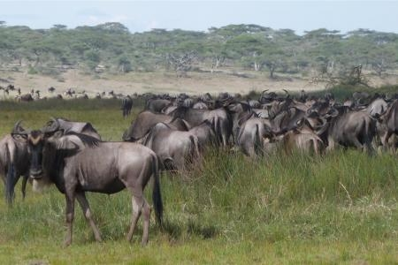 close-up-of-the-migration-near-the-ndutu-safari-lodge