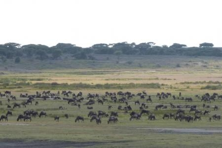 the-herds-gathering-close-to-the-ndutu-safari-lodge