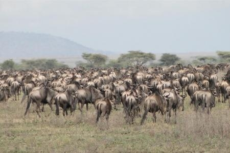 wildebeest-herds-out-on-caracal-plateau-yesterday