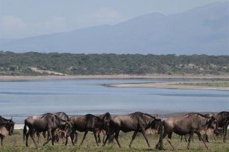 wildebeest-grazing-in-ndutu