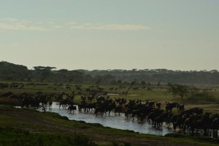 big-herds-at-the-ndutu-marsh