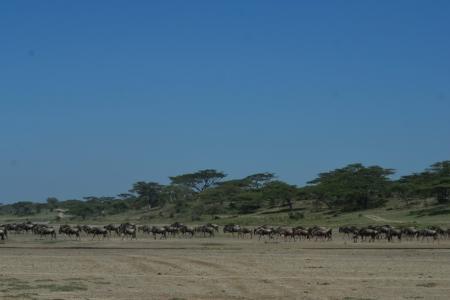 wildebeest-preparing-for-calving-season-in-ndutu