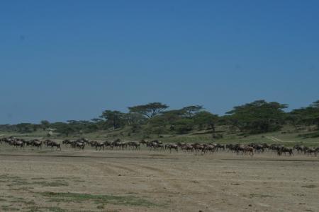 wildebeest-herds-close-to-lemala-ndutu