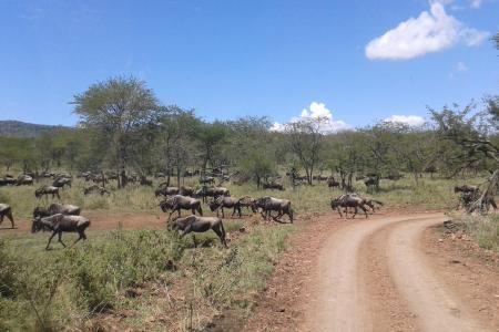 wildebeest-en-route-to-lake-magadi
