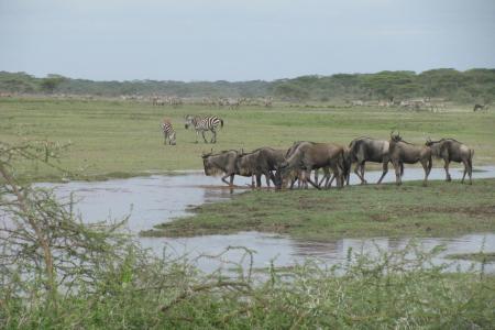 wildebeest-in-the-ndutu