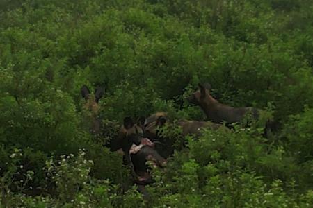 wild-dogs-surround-a-kill