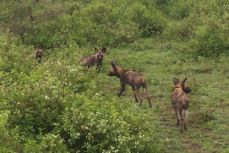 wild-dogs-in-ndutu