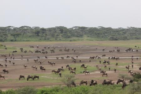 herds-between-lake-ndutu-and-matiti-hill