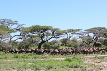wildebeest-herds-in-ndutu