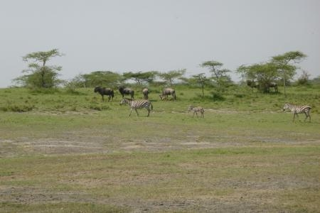 the-bigger-herds-have-moved-towards-the-south-west-of-ndutu