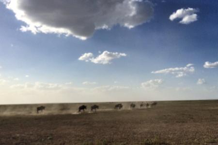 wildebeest-migration-heading-west