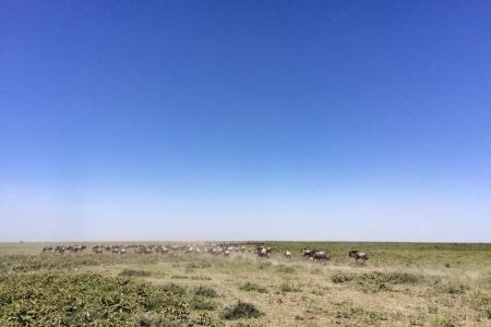 wildebeest-herds-on-the-move
