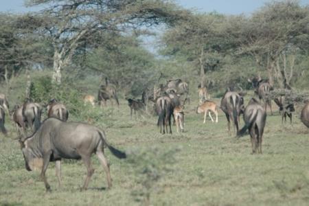 newborn-wildebeest-calves