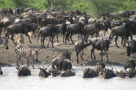 wildebeest-at-a-waterhole-in-ndutu