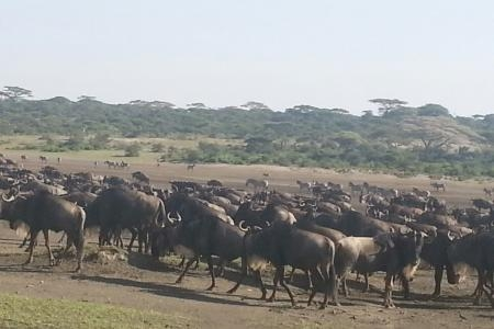 wildebeest-herds-in-ndutu