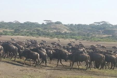 wildebeest-in-the-ndutu-woordlands