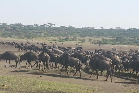 wildebeest-migration-in-ndutu